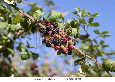 Wild Irish Blackberries