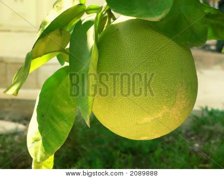 Grapefruit On Branch 2