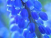 Blue Pearl Hyacinth