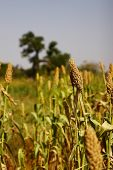 stock photo of sorghum  - A closeup of sorghum ears at a field in Burkina Faso - JPG