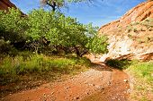 image of cottonwood  - A small creek runs past green cottonwoods in a desert canyon - JPG