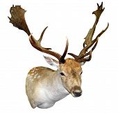 foto of deer head  - A Mounted Fallow Stag Head isolated with clipping path - JPG