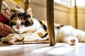 Closeup Of Calico Sleepy Cat Trying To Sleep On Kitchen Towels Under Table On Floor In Room With Sof poster