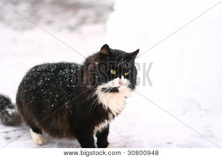 Sério grande e poderoso gato preto