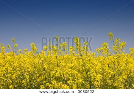 Golden Yellow Rapeseed