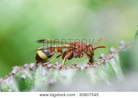Wasp And Cactus  In Green Nature Or In Garden