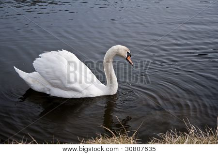 Swan 3923