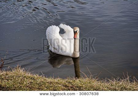 Swan 3921