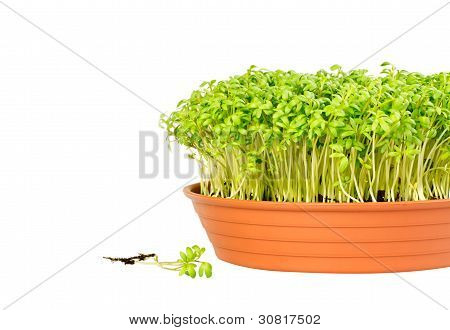 Watercress Growing In A Pot