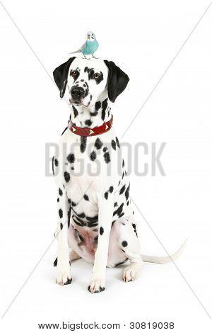 Dalmatian Puppy With Blue Budgerigar On Head