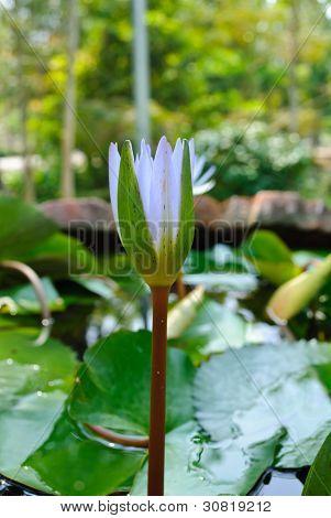 Violet Budding Lotus Flower