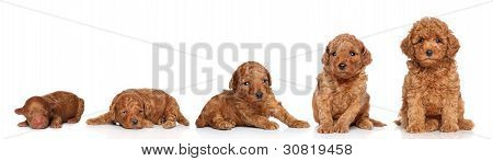 Miniature Poodle. Puppy Growing