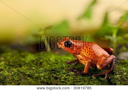 red frog in terrarium strawberry poison dart frog with bright colors exotic tropical amphibian and poisonous animal copy space
