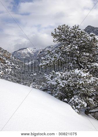 Pinyon Pine In Winter Storm