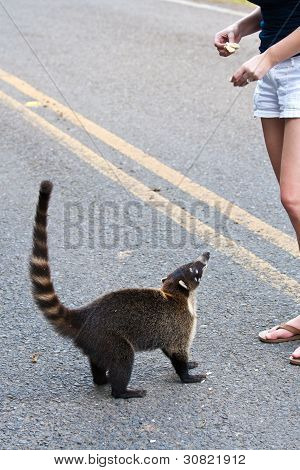 Coati On Roadside