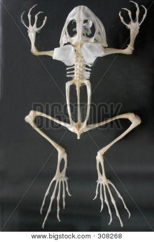 Squeleton Frosch
