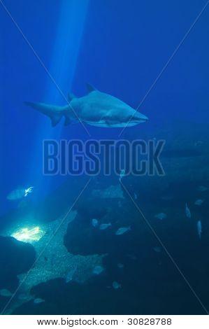 Shark In Blue