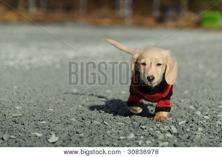 Dachshund Puppy Walks Towards The Camera