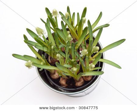 Muscari Flowers In A Pot Isolated On White