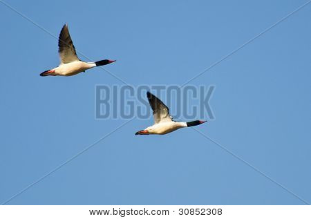 Common Mergansers Flying In Unison