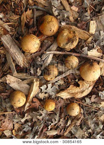 oak galls in park