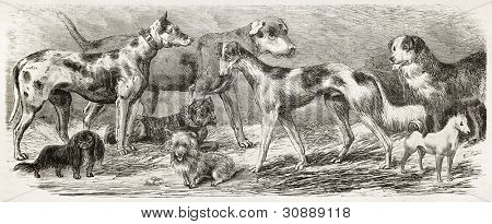 Dogs exposition old illustration. Created by Gerusez, published on L'Illustration, Journal Universel, Paris, 1863