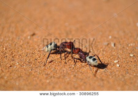 Fighting ants