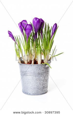 Purple Crocus Flowers In Zink Pot