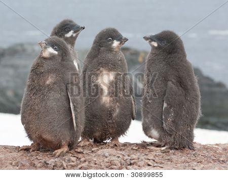 Kindergarten Adelie Penguin Chicks.