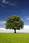 stock photo of linden-tree  - single linden tree at spring in meadow - JPG