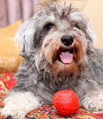 picture of schnauzer  - Funny active mini schnauzer isolated over colorful red carpet - JPG