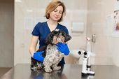 Veterinar, Ophthalmologist Examine The Injured Eye Of A Dog With A Veterinary, Ophthalmologist Prepa poster