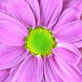 foto of lime-blossom  - Macro of Pink Dahlia Flower with Lime Green Center - JPG