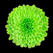picture of lime-blossom  - Lime Green Pom Pom Chrysanthemum Flower Isolated on Black Background - JPG