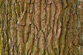 Bark Old Tree. Wood Texture. Seamless Pattern Of Texture Of Gray Bark Of Old Tree poster