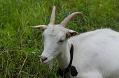 Goats In The Household Yard. Goat Walks Through The Yard Of A Country Farm. Goats In A Green Farm Ya poster