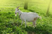 Young Goat Eating Grass In The Yard. White Goat Outdoor On Yard In Spring poster