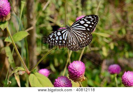 Pale Blue Tiger Butterfly (tirumala Limniace)
