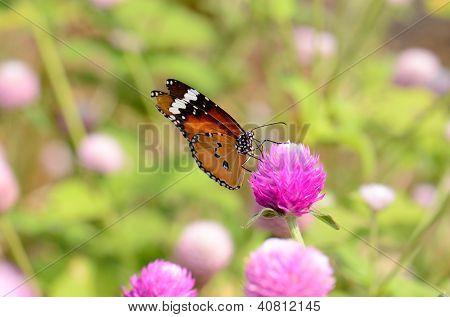 Plain Tiger Butterfly (danaus Chrysippus)