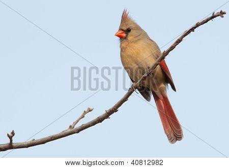 Cardenal del norte mujer encaramado en un árbol en invierno