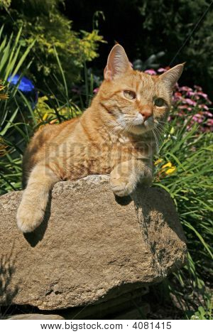 Orange House Cat Perched On A Rock