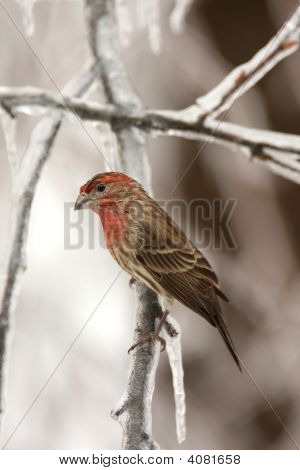 House Finch Perched On An Icy Tree Limb