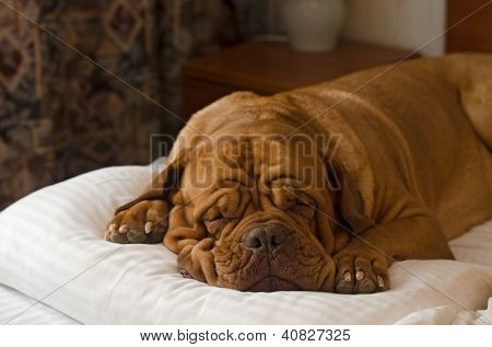 Dogue De Bordeaux sleeping in the bed portrait