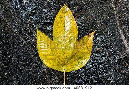 Yellow Leaf On A Black Rock