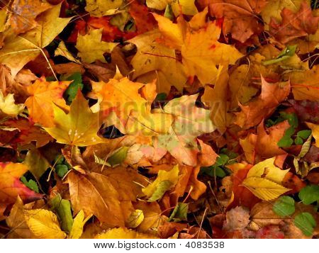 Pied Leaves