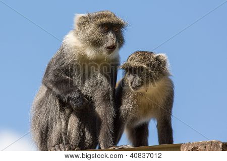 Two Small Monkey On The Roof