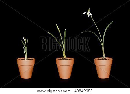Three Single Snowdrops In Terracotta Pots
