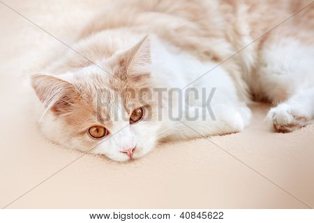 cat on a beige background