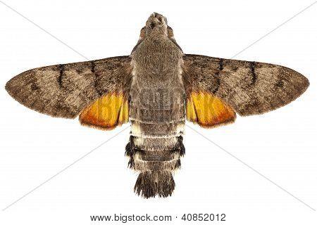 Hummingbird Hawk Moth Species Macroglossum Stellatarum
