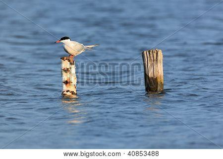 Sterna Hirundo, Common Tern.